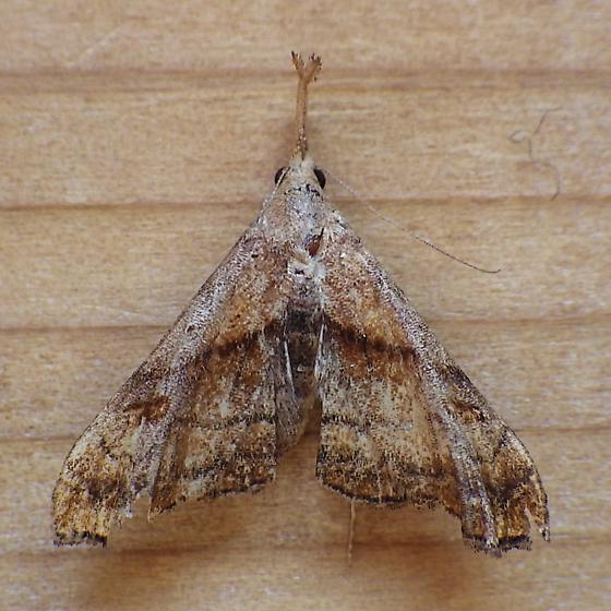 Erebidae: Palthis angulalis - Palthis angulalis