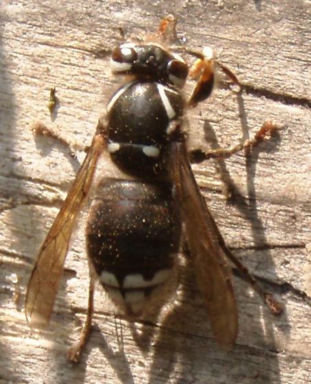 Baldfaced Hornet - Dolichovespula maculata - female