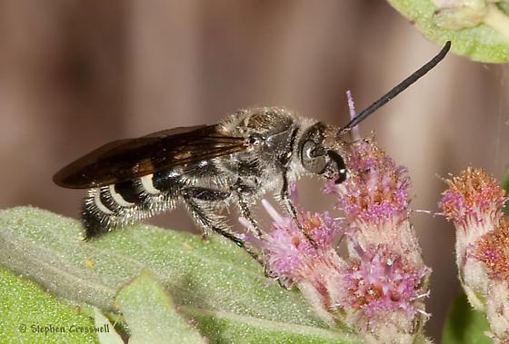 Nectar feeding - Dielis plumipes - male