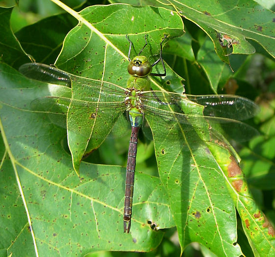 Common Green Darner - Anax junius - male