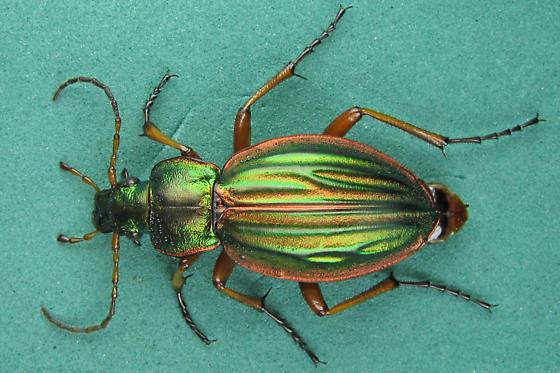 Ground beetle - Carabus auratus - female