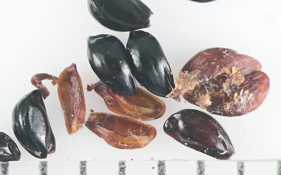 Agromyzidae, Columbine seed & herbivory - Phytomyza krygeri