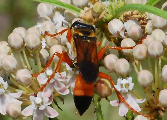 Great golden digger wasp? - Sphex ichneumoneus
