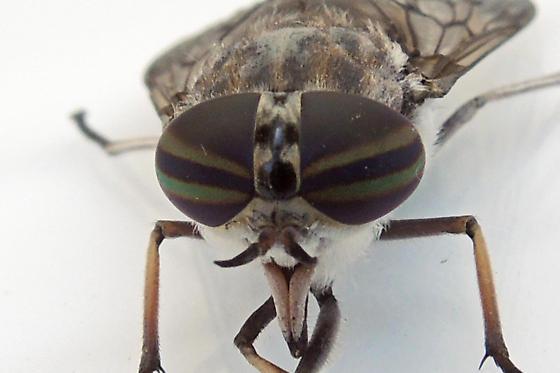 horse fly - Tabanus reinwardtii - female