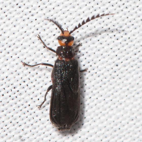 Tytthonyx?? - Tytthonyx erythrocephala