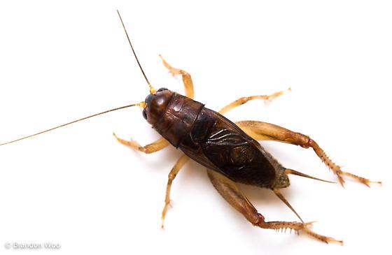 Anurogryllus celerinictus - male