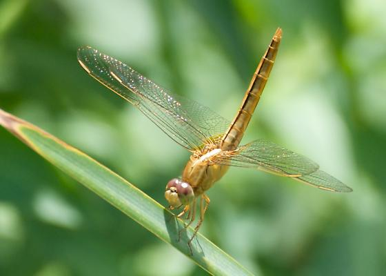 Dragonfly on Blade of Grass - Crocothemis servilia
