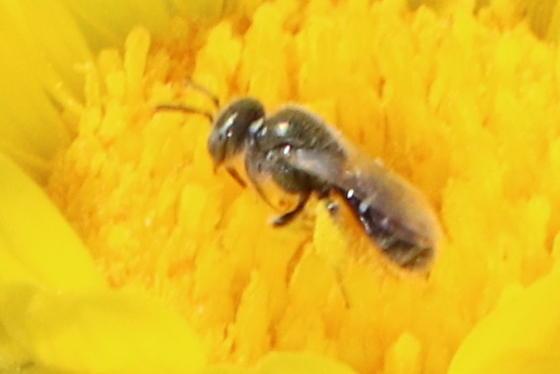 Second tiny bee - Perdita