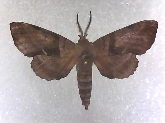 unknown moth - Amorpha juglandis - male