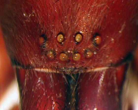 Strange amaurobioid - eyes - Teminius affinis - female