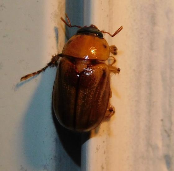 6/26/20 Beetle - Cyclocephala