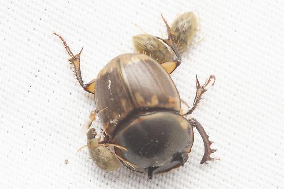 Digitonthophagus gazella - male