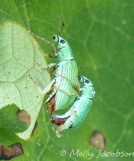 Polydrusus impressifrons - male - female