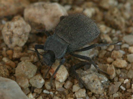 Woolly beetle - Stenomorpha muricatula