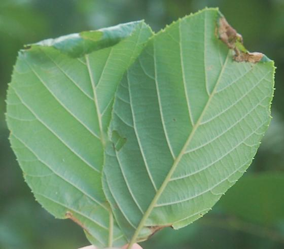 St. Andrews leaf miner on Alnus serrulata SA1567 2019 9