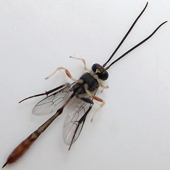 Charops annulipes - female