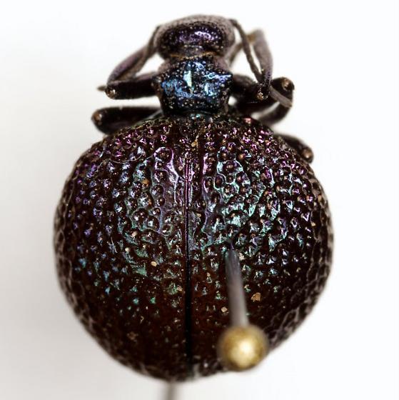 Cysteodemus wislizeni LeConte - Cysteodemus wislizeni
