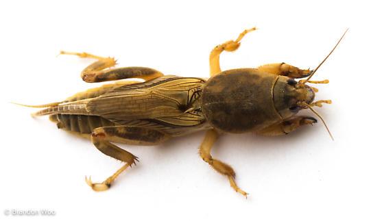 Neoscapteriscus vicinus