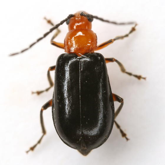Phyllecthris dorsalis (Olivier) - Phyllecthris dorsalis