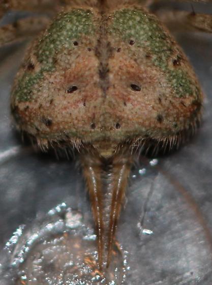 Murricia uva? Yabisi habanensis? - female