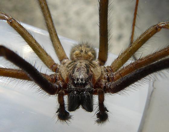 Giant Spider~! - Eratigena duellica