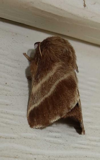 Moth - male