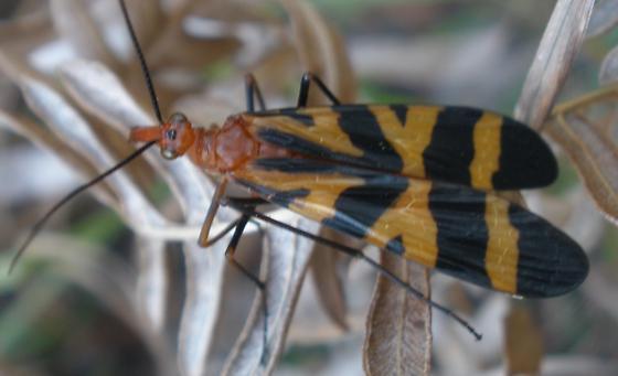 panorpa nuptialis? - Panorpa nuptialis - female