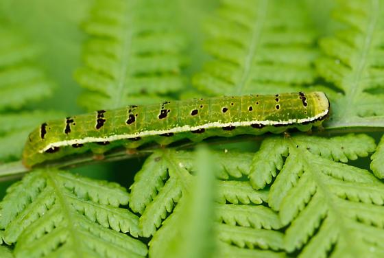 unknown caterpillar - Callopistria floridensis
