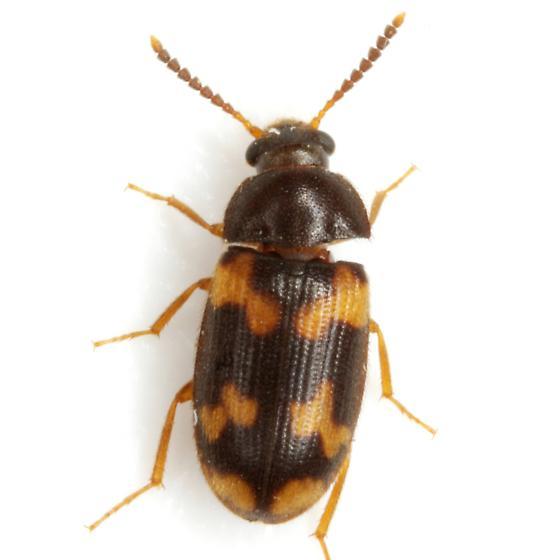 Mycetophagus serrulatus Casey - Mycetophagus serrulatus