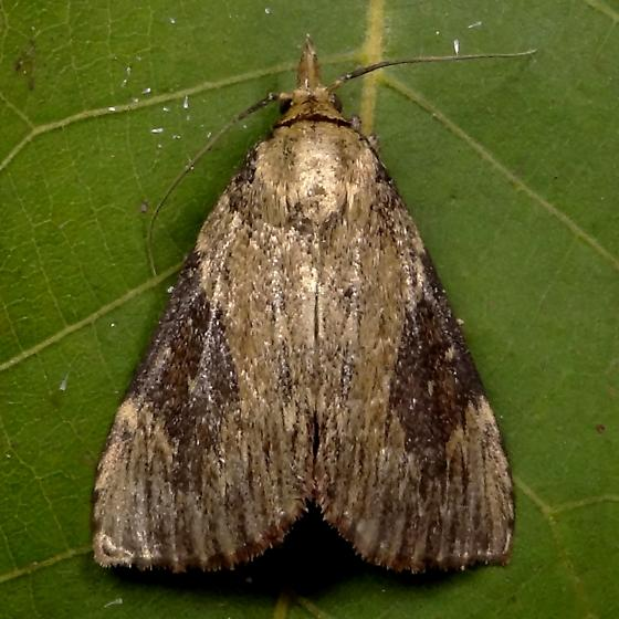 Moth ID Request - Omphalocera cariosa