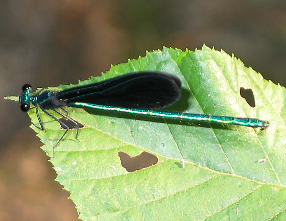 Black-winged Damselfly - Calopteryx maculata - male