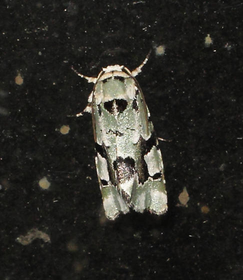 Green and white camoflauge pattern moth photo #1 - Emarginea percara