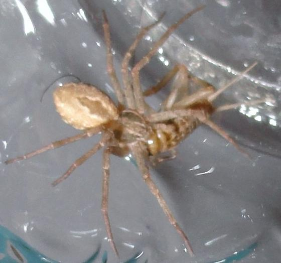 Unknown spider - Thanatus vulgaris