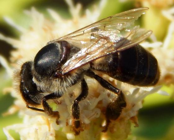 Black Bee (Apis mellifera mellifera)? - Apis mellifera - female
