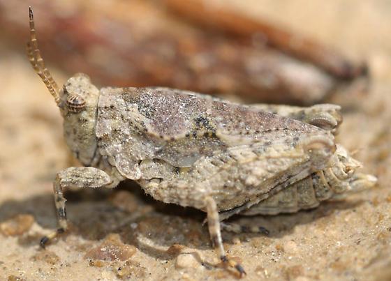 Nomotettix? 2 - Tetrix ornata - female