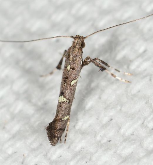 Caloptilia triadicae