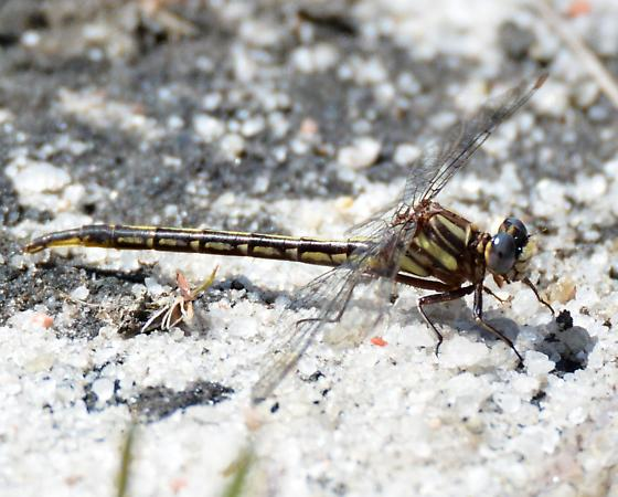 Diminutive Clubtail - Phanogomphus diminutus - female