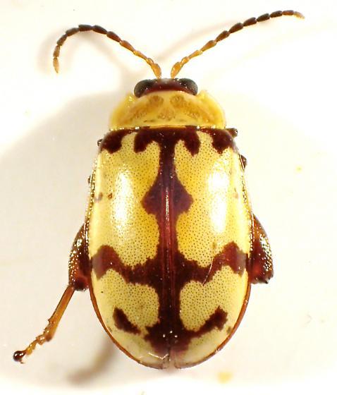 Alagoasa jacobiana