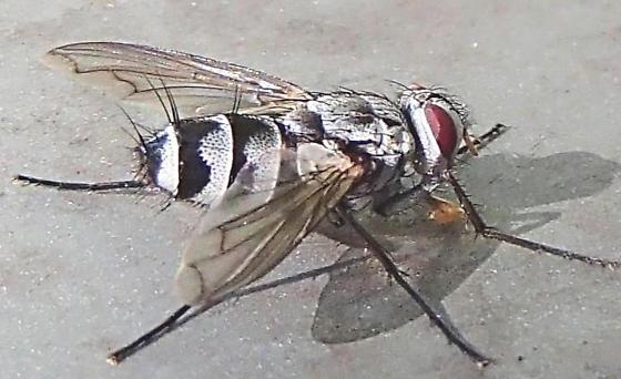 Zelia - Zelia vertebrata - female