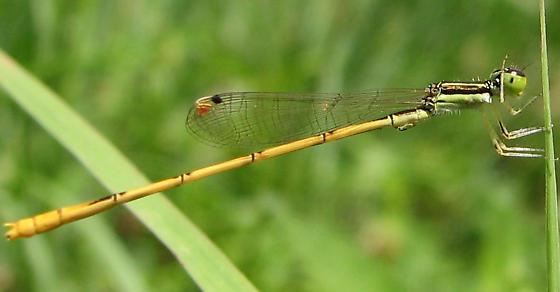Damselfly - Ischnura hastata - male