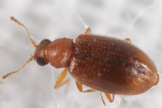 Right beetle at light - Melanophthalma