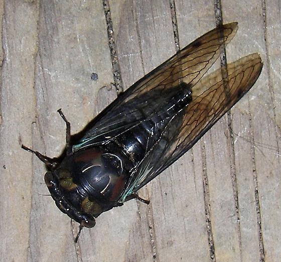 Lyric Cicada - Tibicen lyricen - Neotibicen lyricen