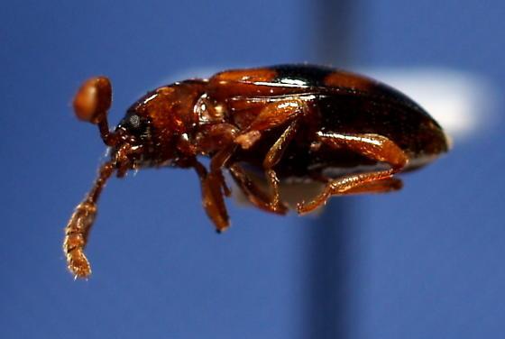P. pulchella - Phymaphora pulchella - male