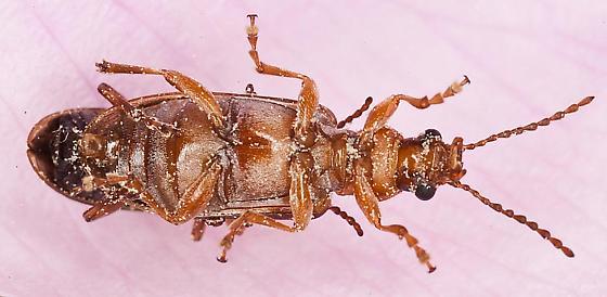 Orsodacne atra mating - Orsodacne atra - male - female
