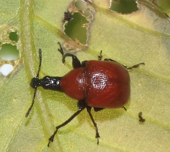 colorful weevil/beetle - Homoeolabus analis