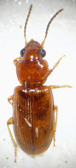 another smaller carabid