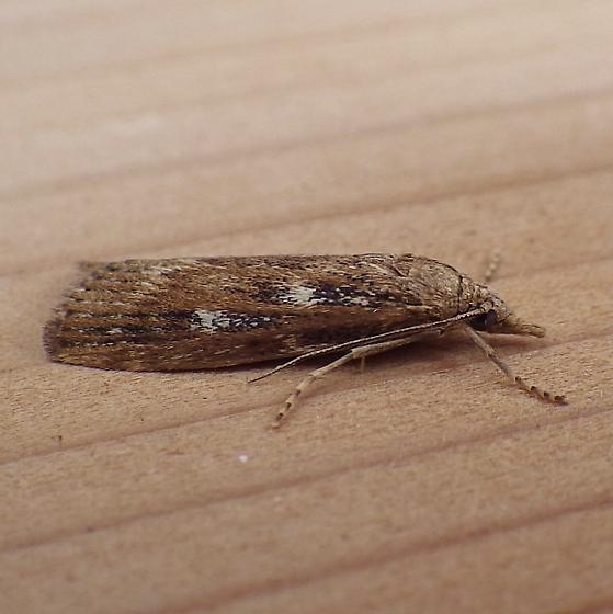 Crambidae: Occidentalia comptulatalis - Occidentalia comptulatalis