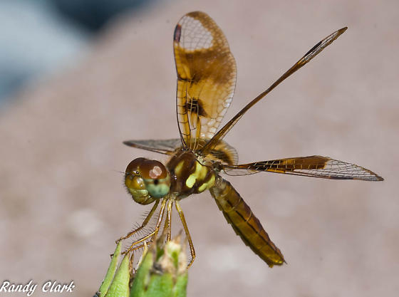 little brown dragonfly - Perithemis tenera - female