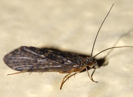 Caddisfly - Rhyacophila acutiloba