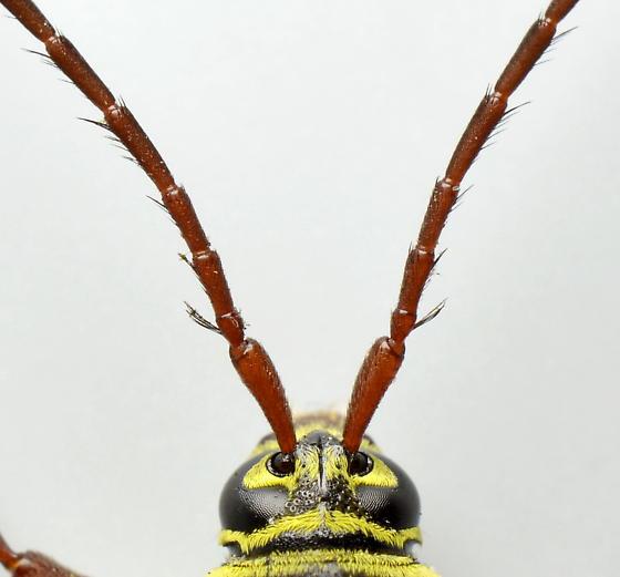 Tentatively - Placosternus difficilis